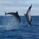 Azoren.dolfijnen